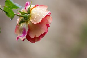 Roses Rain Drop Garden